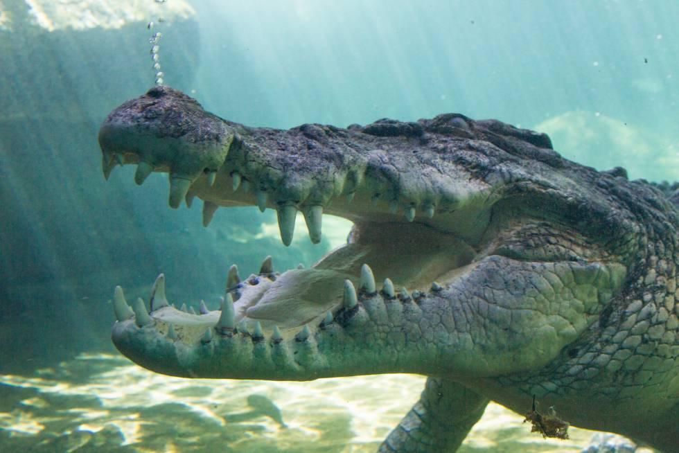 El cocodrilo gigante y la modelo