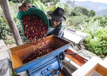 El café deja paso a la coca en Puno