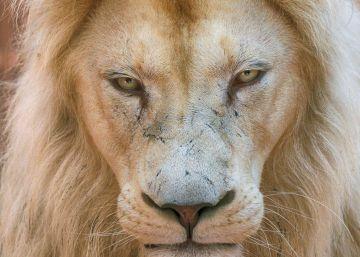 El león albino