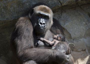 Nace un gorila en Bioparc Valencia a la vista del público