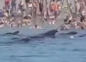 Unos veraneantes ayudan a unas ballenas varadas a regresar al mar