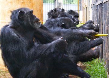Los chimpancés cooperan como los humanos