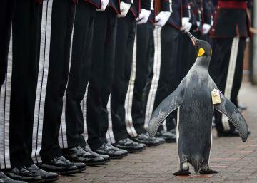 Un pingüino ordenado caballero pasa revista a 50 guardias noruegos