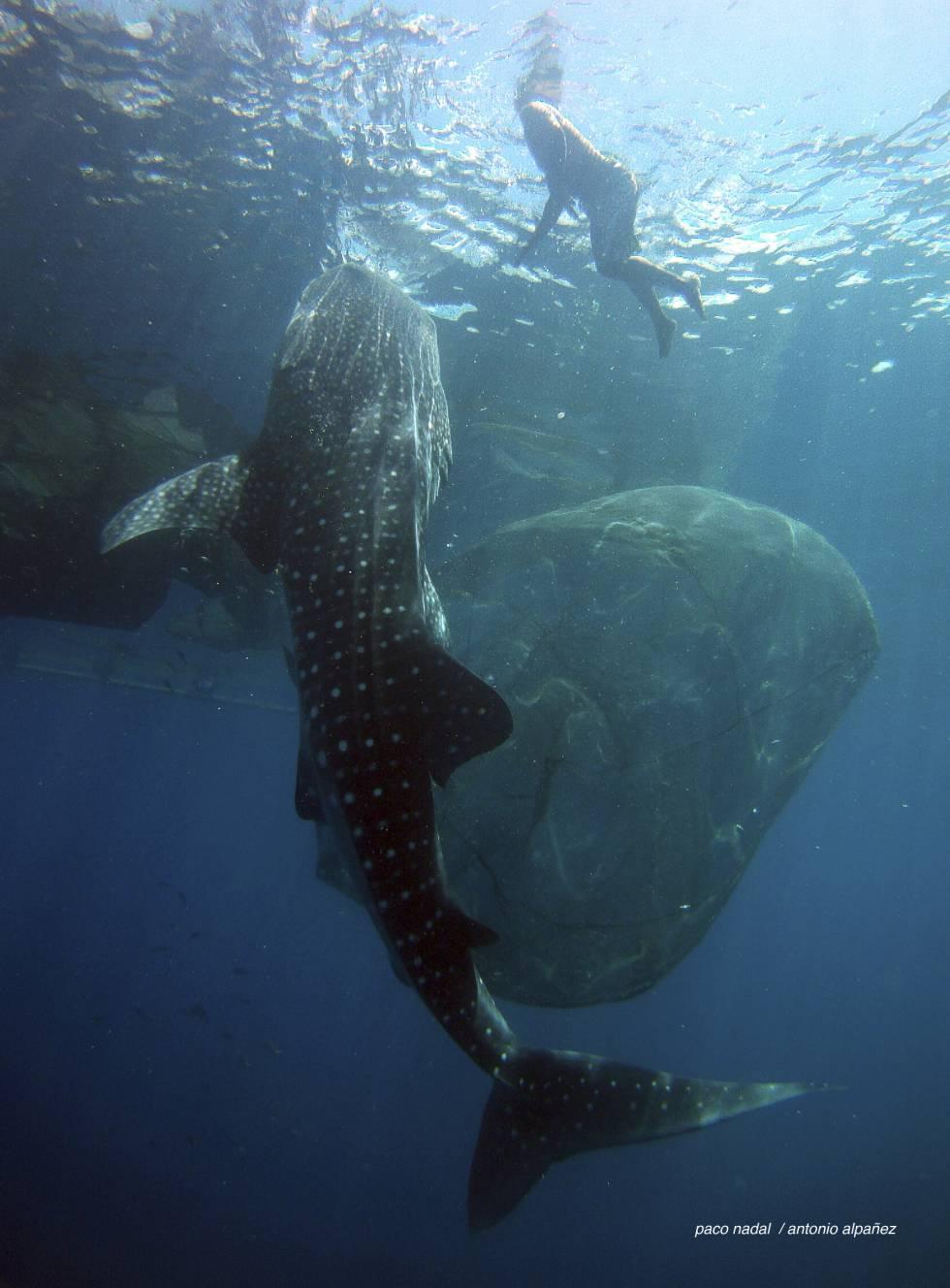 El extraño caso de los tiburones que aprendieron a vivir de los pescadores
