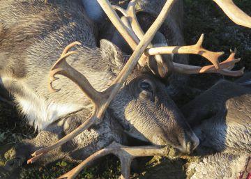 Un rayo mata a más de 300 renos en Noruega
