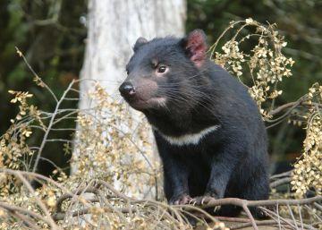 Los demonios de Tasmania evolucionan para resistir al cáncer que ha matado al 80%