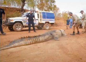Un cocodrilo de cuatro metros aterroriza al ganado en Australia