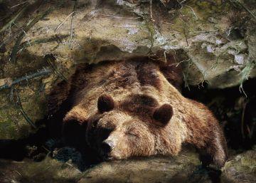 ¿Cómo sobrevive el oso durante la hibernación?