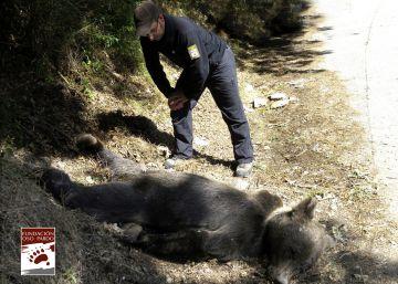 Muerto a tiros un oso pardo en Asturias