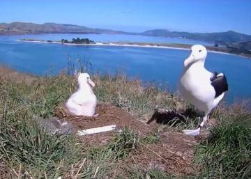 El 'timelapse' de la vida de un albatros hasta que echa a volar