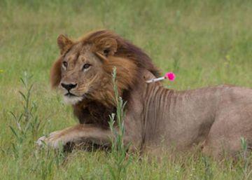 A cinco leonas les crece melena y empiezan a actuar como leones
