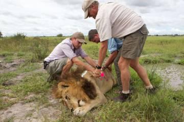 Una de las leonas con aspecto de león, sedada.