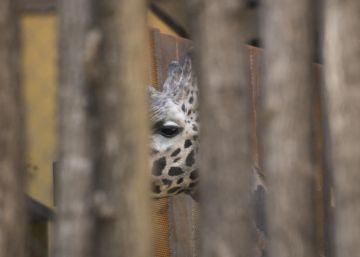 Una de las jirafas del zoo de Barcelona.