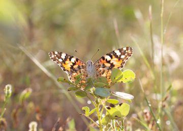 La mariposa que recorre 4.000 kilómetros en busca del calor