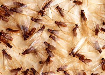 Esta termita es la especie invasora más dañina