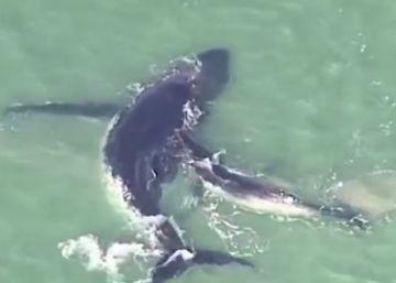 El esfuerzo de una cría de ballena por liberar a su madre, encallada en la arena