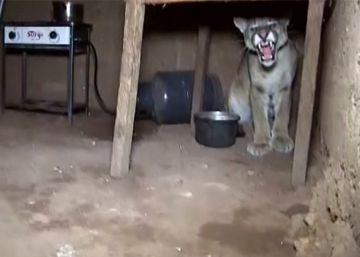 Un puma viene a verte en Perú