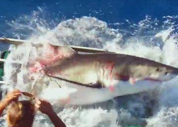 Un tiburón se cuela en la jaula de un buceador