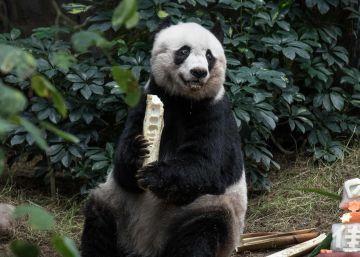 Muere 'Jia Jia', la osa panda gigante que llevaba más años en cautividad