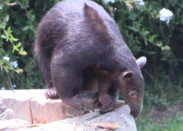 El oso hormiguero más pequeño del mundo bate el récord de longevidad