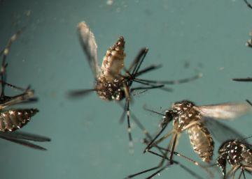 Mosquito 'Aedes aegypti', responsable de la transmisión del zika.