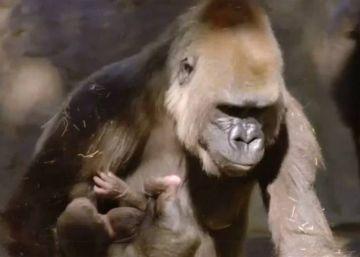 Nace un gorila de una especie en extinción en un zoo de EE UU