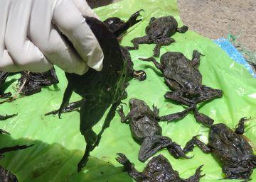 El misterio de las 10.000 ranas gigantes muertas junto al Titicaca