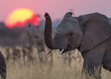 La matanza de elefantes roba millones de euros al turismo africano