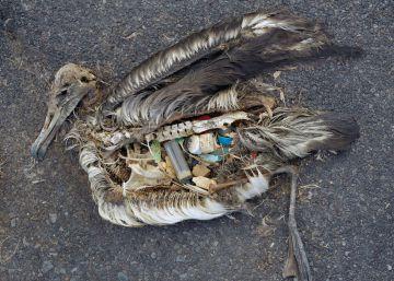 Las aves marinas se atiborran de plástico porque las atrae su olor