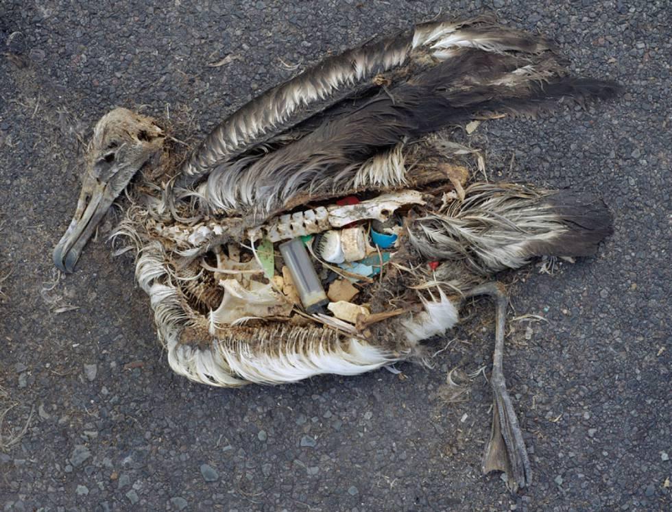 Cadáver de un albatros en las islas Midway