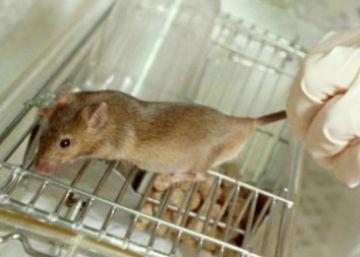 El veto al transporte de animales de laboratorio llega al Congreso