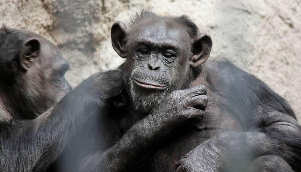 La chimpancé Cecilia en el zoo de Mendoza.