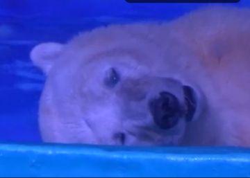 """Pizza, """"el oso polar más triste del mundo"""", es trasladado temporalmente"""