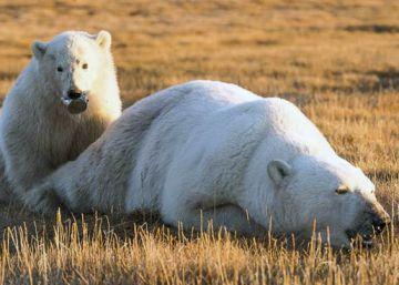 La imagen del cachorro de oso polar que recuerda por qué no hay que tirar basura en la naturaleza