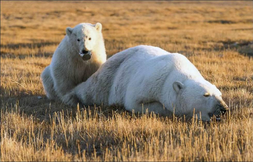 El cachorro de oso polar con la lata en la boca junto a su madre sedada.