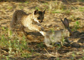 Un virus que mata a los conejos hace peligrar la recuperación del lince