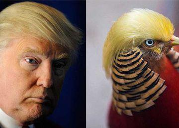 Trump tiene un doble y es un faisán chino