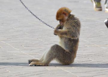Los macacos de Yamaa El Fna ya tienen padrinos