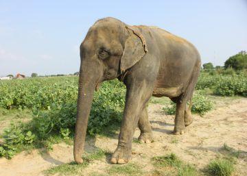 La segunda vida de los elefantes maltratados