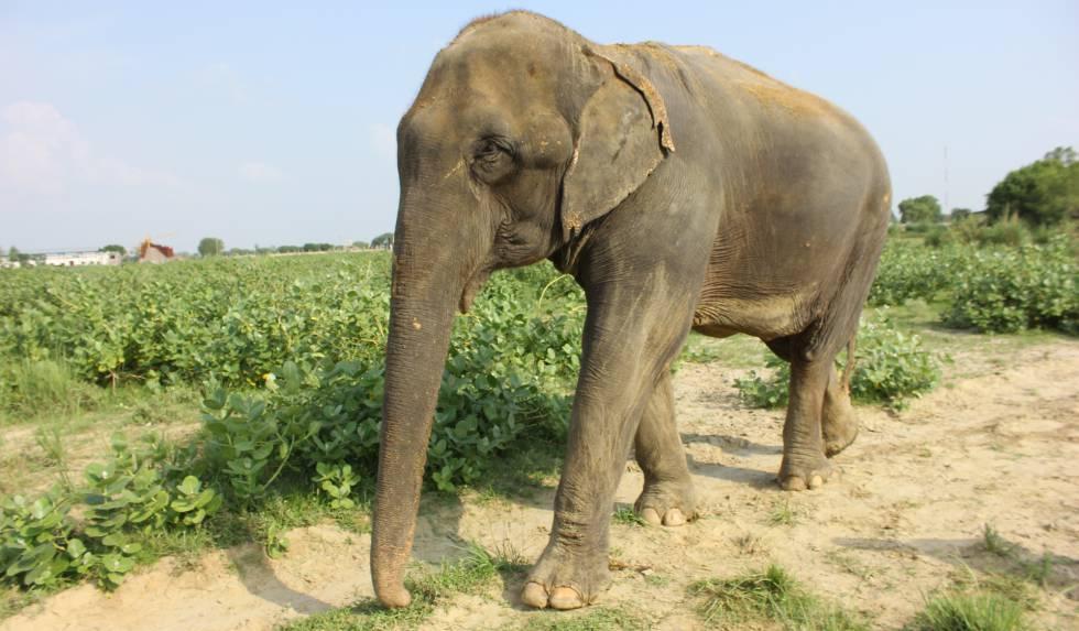 Lakhi, elefante rescatado por Wildlife SOS.