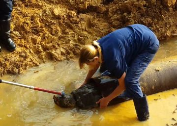 Salvan a una tortuga protegida de morir atrapada en una tubería
