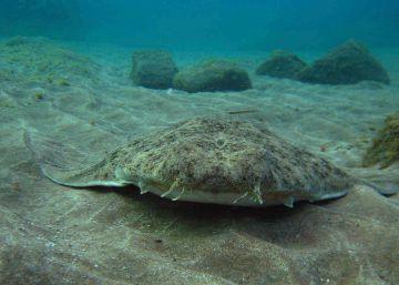 La mitad de los tiburones del Mediterráneo están en riesgo de extinción