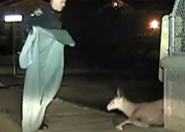El ciervo que quedó atrapado en una valla