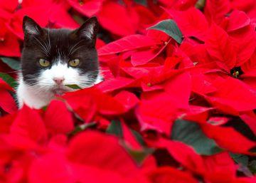 Veinte plantas tóxicas para tu gato (incluidas las navideñas)