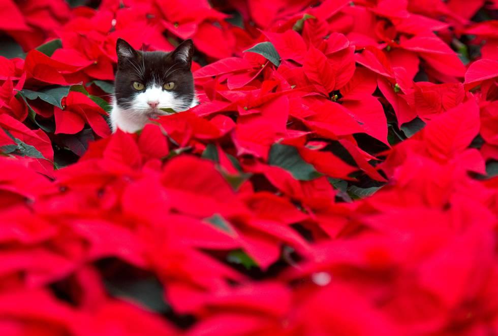 Me encantan.. pero me hacen daño. Un gato sentado sobre flores de pascua.