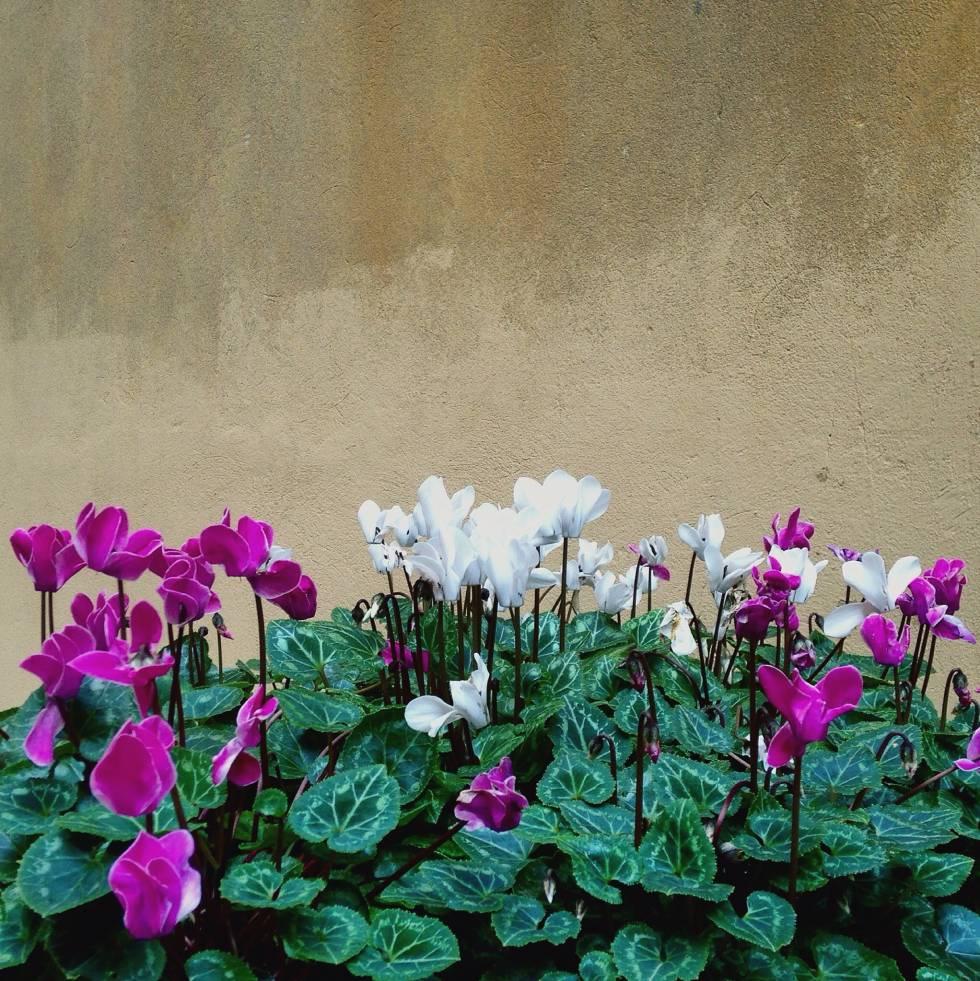 Flores de ciclamen.