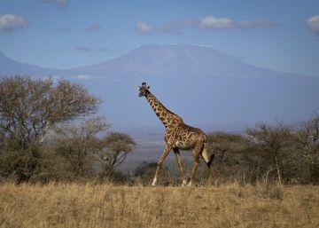 La jirafa entra en la lista de especies amenazadas