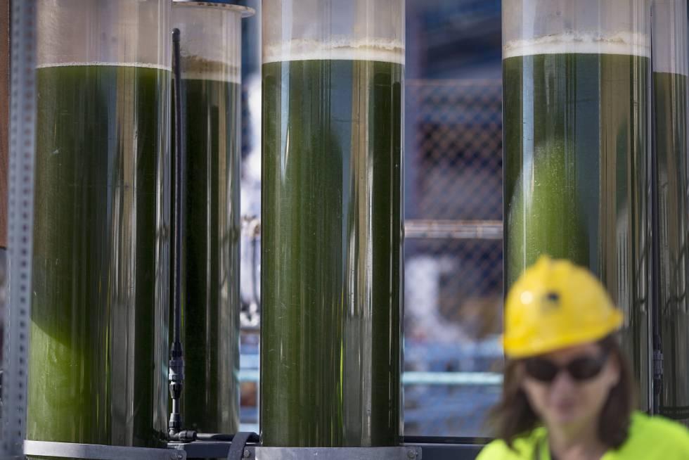 Fotobiorreactores de algas en forma de columnas de vidrio.