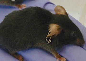 Un grupo de investigadores revierte el envejecimiento en ratones