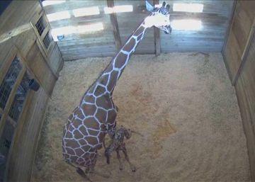 Una cámara de seguridad capta el nacimiento de una jirafa